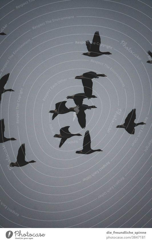 Gänse fliegen in den Winter I Vogel Tier Natur Farbfoto Außenaufnahme blau himmel unten Umwelt Wildtier natürlich flügel Flügel Tierporträt linum Feder Freiheit