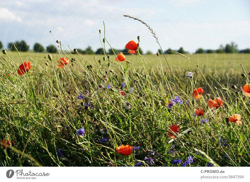 Blumenstreifen am Feldrand Sommer blumen mohn getreide agrar insektensterben blumenstreifen kornblumen Wildblumen Blühstreifen