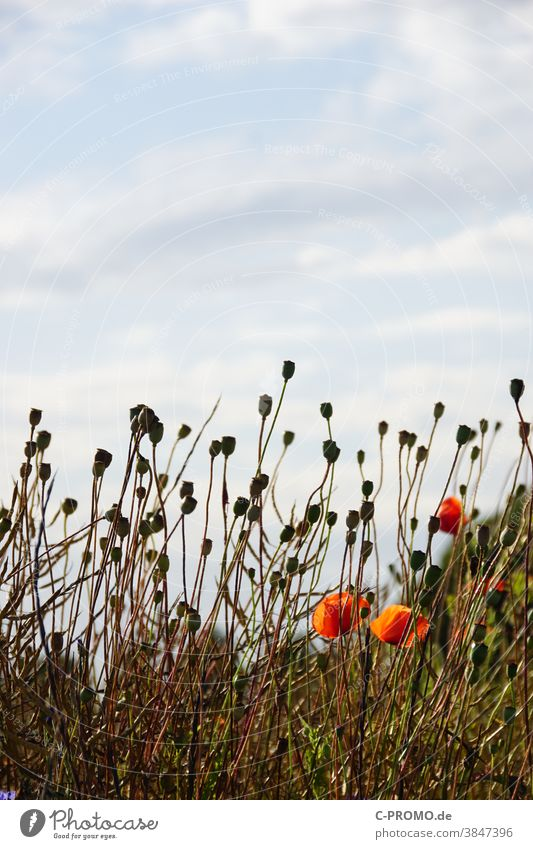Mohnkapseln strecken sich dem Himmel entgegen Blüte Kapsel pflanze himmel