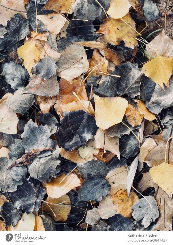 Blätter in schwarzbraun-gelb Herbst Herbstlaub Blatt herbstlich Herbstfärbung Natur Farbfoto Außenaufnahme Menschenleer Herbstbeginn Tag Baum Herbstwetter