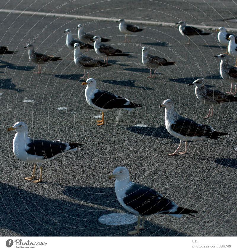 mittagspause Natur Sommer Schönes Wetter Straße Tier Wildtier Vogel Tiergesicht Flügel Möwe Tiergruppe Schwarm beobachten stehen warten Zusammensein Neugier