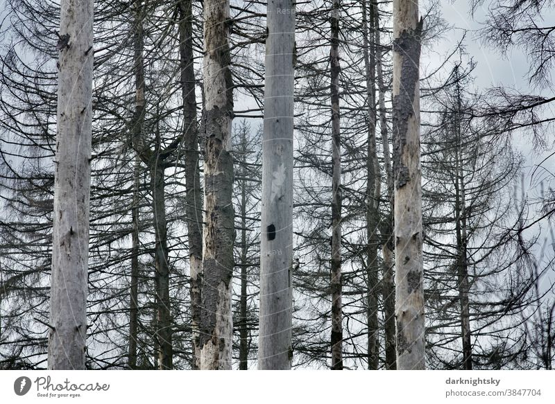 Abgestorbener Wald aus toten Fichten mit heruntergefallener Borke Vogel Aves abgestorbene Bäume busch tree pinus pinie pine Himmel Sommer Frühling Baumsterben