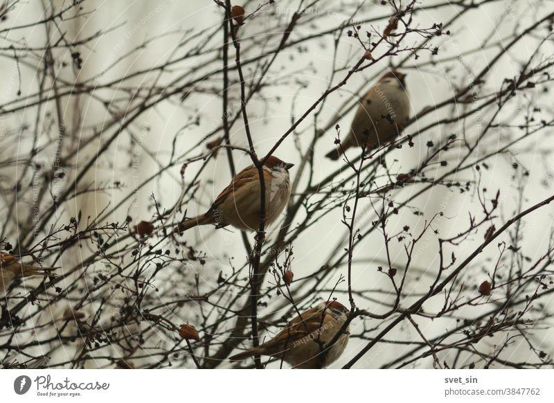 Ein Schwarm brauner, flauschiger Spatzen sitzt an einem Herbsttag in einem Busch zwischen kahlen Zweigen und trockenen schwarzen Beeren vor einem bewölkten Himmel. Passer montanus oder eurasischer Feldsperling.