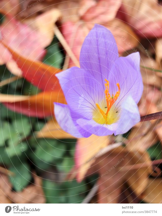 Herbstkrokus Krokus Safran herbstlich violett November Crocus sativus Herbstblüher Safrankrokus Knolle Herbstlaub Stempel Blüte Blütenblätter Herbstfärbung