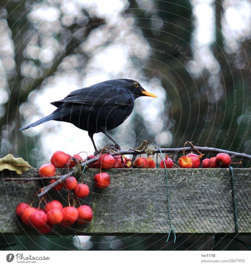Schwarzdrossel hockt auf Zweig mit roten Zieräpfeln Amsel Vogel Singvogel Fütterung Pergola beobachten Turdus merula Winter männlich Garten Tierliebe
