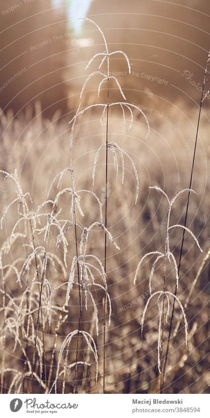 Frostiges Gras auf der Bergwiese bei Sonnenaufgang. Pflanze Nebel Wald geheimnisvoll kalt Saison Winter Herbst getönt gefiltert Einfluss Isera Isergebirge Berge