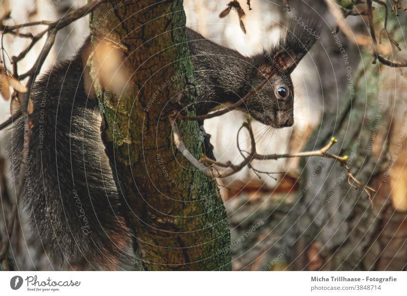 Eichhörnchen im Baum Sciurus vulgaris Tiergesicht Kopf Auge Maul Nase Ohr Fell Pfote Krallen Schwanz Wildtier Natur Nagetiere beobachten Neugier niedlich Blick