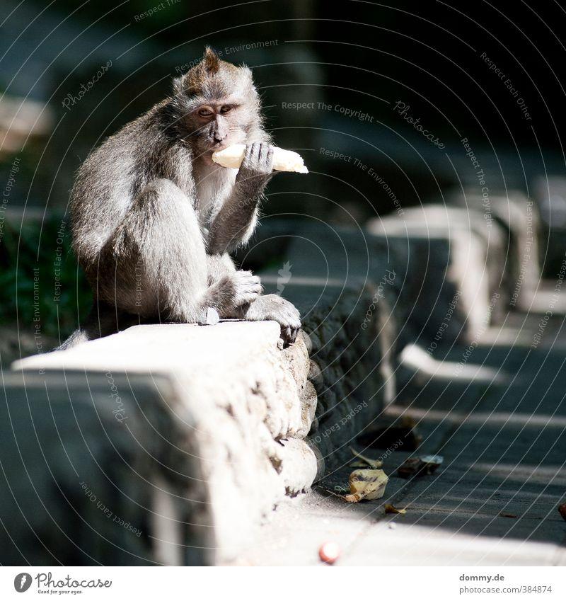 sonntagsbrunch Körper Gesicht Natur Tier Affen Menschenaffen 1 beobachten Essen sitzen Aggression grau Neugier Banane Bali Lebewesen Tempel freilaufend Fressen