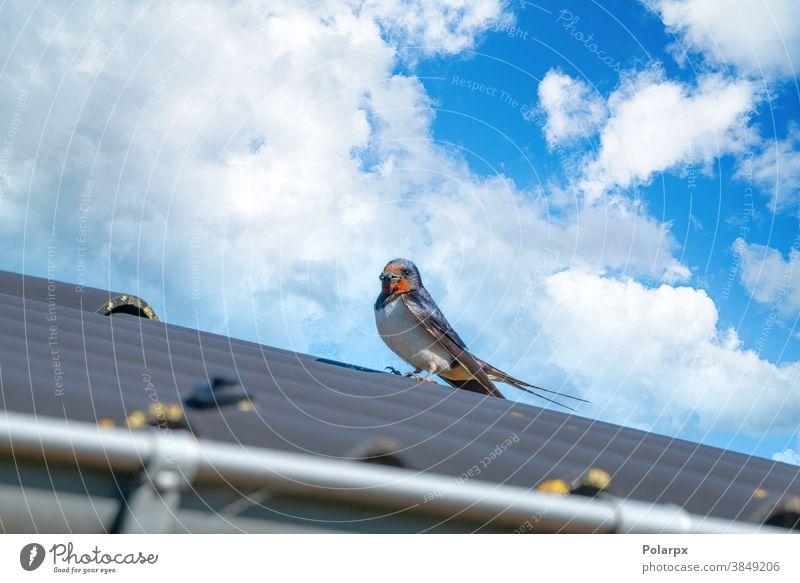 Erwachsener Schwalbenvogel im Sommer auf einem Dach füttern Schnabel Feder Fauna Tag Erwachsener Schluck Schwalbenwanderung Vögel Federn Jagd Park im Freien