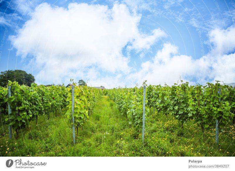 Weinrebenplantage in einem Weinberg Reihen Bodenbearbeitung idyllisch Weinberge schön Frankreich Tal Industrie Dorf Landwirt Szene Europa Frühling im Freien