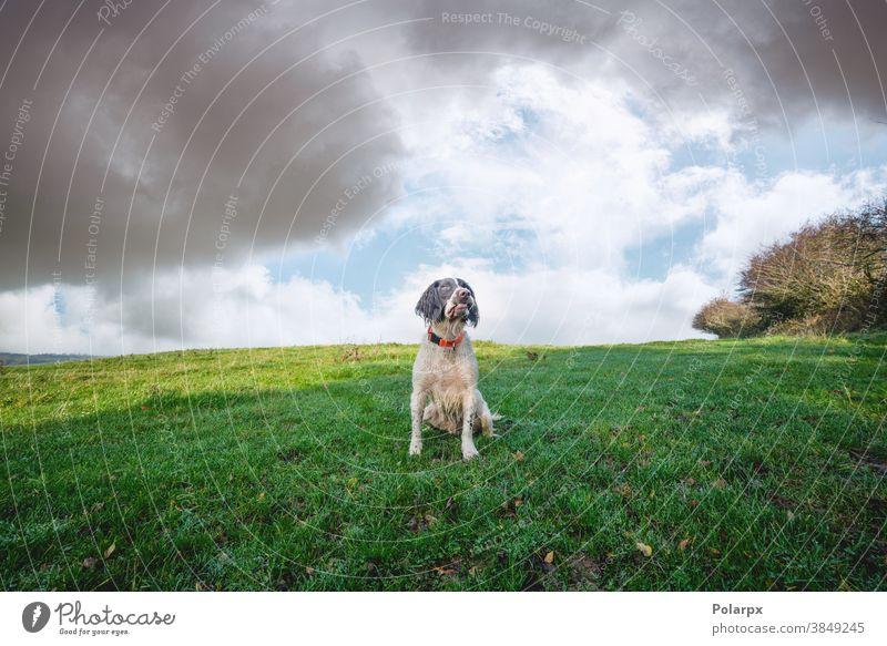 Englischer Springer-Spaniel auf einer grünen Wiese wolkig Gesicht Ohren bewachen Springerin niedlich Sport Cocker im Freien Eckzahn freundlich Sommer ländlich