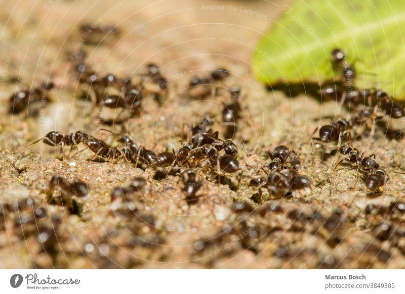 Ameisen, Formicidae, Ants Ameisenvolk Insekt ameisen hautfluegler insekten