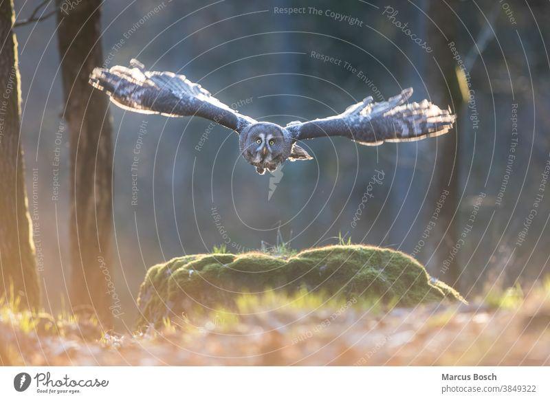 Bartkauz, Strix nebulosa, Steinkauz Eule Eulen Eulenvogel Flug gegenlicht Greifvoegel Greifvogel Raubvoegel Strix-Nebulosa Vögel Abendlicht Tier Tiere Vogel