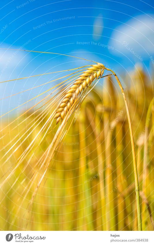 Gerste Lebensmittel Getreide Sommer Landwirtschaft Forstwirtschaft Pflanze Wolken Schönes Wetter Nutzpflanze Feld gold himmel Ähren golden cereal essen