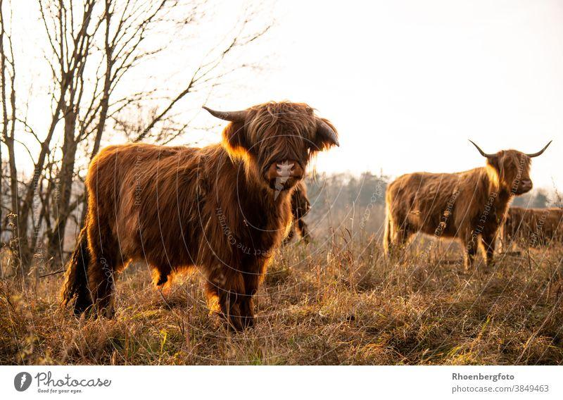 Schottische Hochlandrinder im Gegenlicht der Abendsonne hochlandrind hochlandrinder kuh kühe kalb fell braun wiese weide gras natur gräser futter fressen