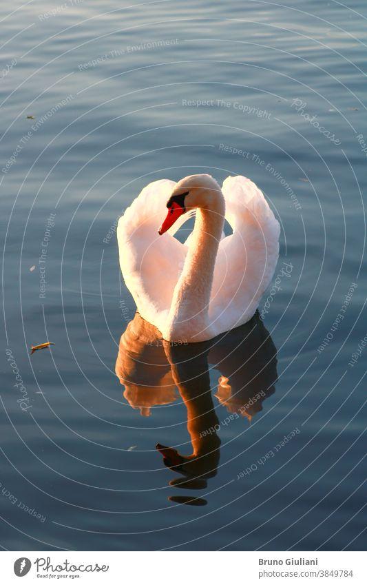 Nahaufnahme eines schönen stummen Schwans auf einem See. Sonnenlicht fließt durch die Flügel eines Wasservogels. Winkt und erwacht um das Tier herum. Tierwelt