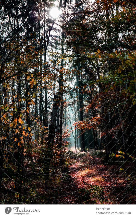 herbstlich(t) Herbstwald Sonnenstrahlen Sonnenlicht Kontrast Licht Außenaufnahme Farbfoto schön fantastisch Wald Sträucher Blatt Baum Pflanze Landschaft Natur