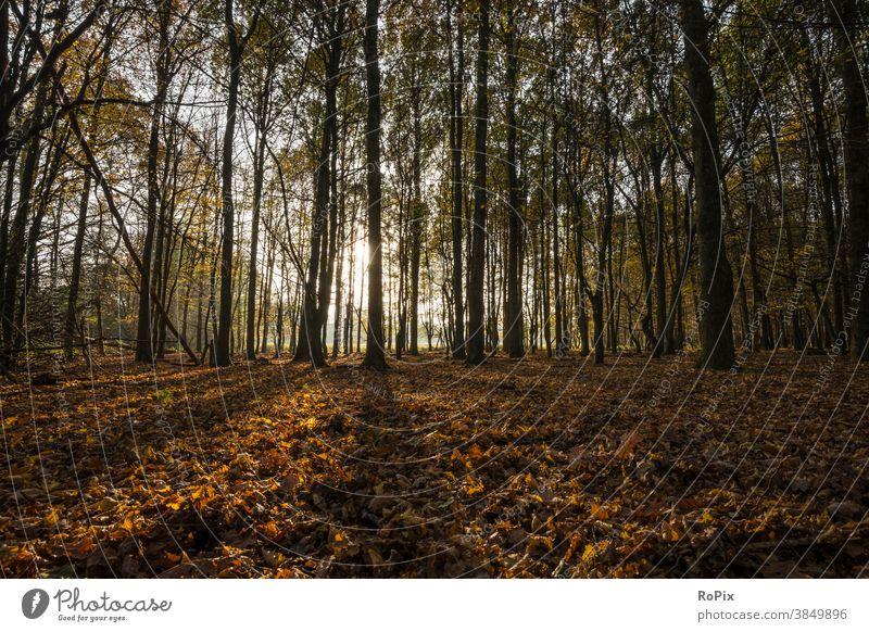 Goldenes Laub in einem Wald bei gegenlicht. Sonne Herbst Landschaft Weg Pfad Eichen Allee Feldweg Natur Waldweg Jahreszeit Witterung landscape Wetter