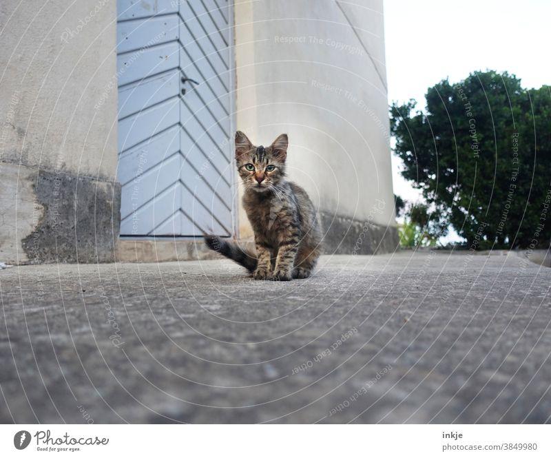 hello kitty - korsiches Straßenkätzchen Farbfoto Außenaufnahme Nahaufnahme Tierportrait Katze Katzenjunges Straßenkatze allein 1 grau getigert Tiernot trist