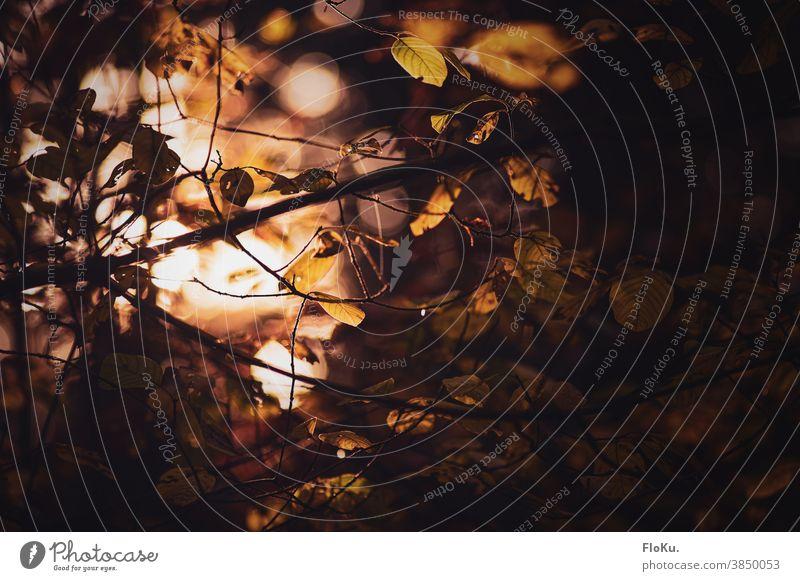 Blätter und Zweige in goldenem Hersbtlicht natürlich Tag herbstlich Herbstfärbung Zweige u. Äste Außenaufnahme Farbfoto Pflanze Umwelt Natur Baumkrone