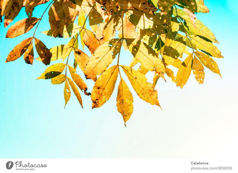 Das gelbe Laub der Schwarz-Esche im Herbst Natur Flora Pflanze Baum Blätter Zweig Ölbaumgewächs Fraxinus nigra Himmel schönes Wetter Garten Gelb Grün Türkis