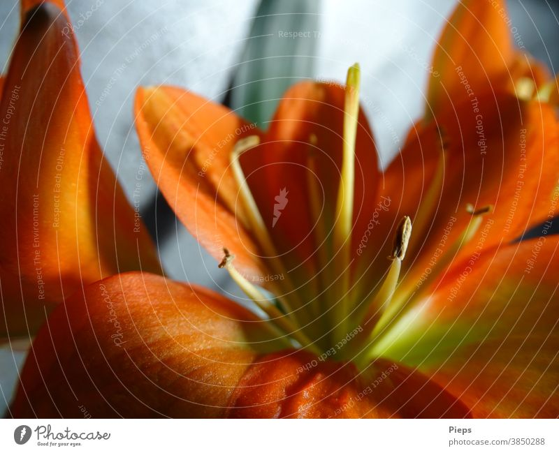 Blüte der Clivie (Riemenblatt) Blütenstempel Blütenblatt orange Licht und Schatten Zimmerpflanze Floristik Innenaufnahme Makroaufnahme Zierpflanze