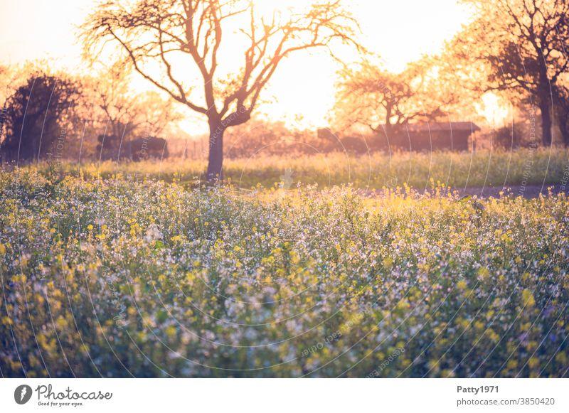 Abendstimmung über einer Wildwiese mit kahlem Baum im November Landschaft Natur Außenaufnahme Wiese Feld Herbst Menschenleer Umwelt romantisch Sonnenuntergang