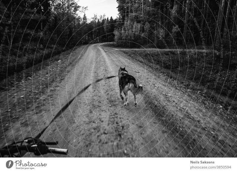 Sibirischer Schlittenhund zieht Fahrrad auf einsamer Waldschotterstraße Tier Eckzahn PKW Meisterschaft Wagen Konkurrenz wettbewerbsfähig durchkreuzen Überfahrt