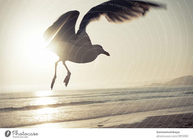 Moewe in Kalifornien Flügel Möwe Freiheit Meer Sonne fliegen Himmel Wellen Wasser Menschenleer Luft frei maritim Licht Küste Reflexion & Spiegelung Vogel
