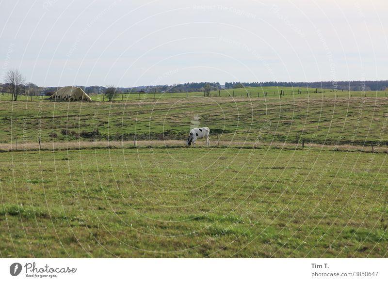 eine Kuh auf der Wiese poland Polen Himmel Tier Gras Weide grün Landwirtschaft Rind Natur Nutztier Landschaft Außenaufnahme Umwelt Feld Farbfoto Viehzucht