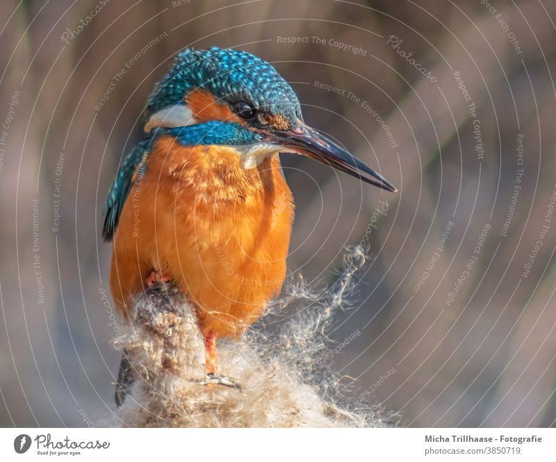 Eisvogel Porträt Alcedo atthis Kopf Auge Schnabel Federn Gefieder Flügel Tierporträt Vogel Wildtier Natur strahlen leuchtend Ganzkörperaufnahme Vorderansicht