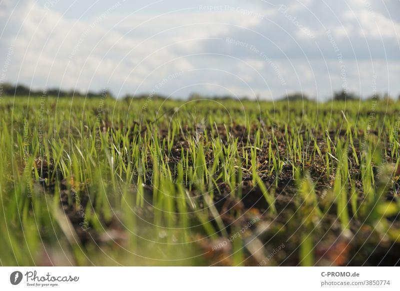 Feld voller Sprösslinge feld agrar anbau Pflanze junge pflanze Trieb Keim gewächs Ackerbau Gras neu wachsen getreide saat