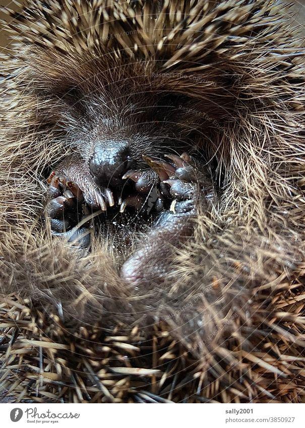 kleiner zusammengerollter Igel kurz vorm Winterschlaf... Säugetier Stachel stachelig niedlich zusammenrollen Schnauze Tier braun Herbst Nahaufnahme Wildtier
