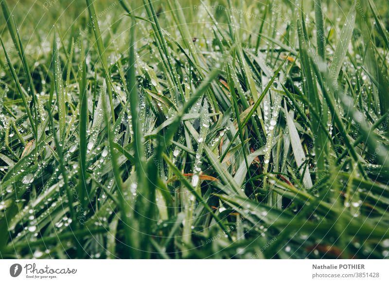 Grünes Gras mit Wassertropfen grün Wiese Halm Makroaufnahme Nahaufnahme nass Außenaufnahme Morgen Regen Natur Garten frisch Farbfoto Pflanze natürlich