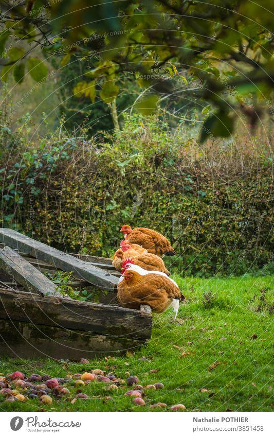 Hühner und Hahn im Garten aufgereiht Pute garde Tier Hähnchen Bauernhof Federvieh Ackerbau Farbfoto Tierporträt Nutztier Natur Außenaufnahme Landwirt Hühnerfarm