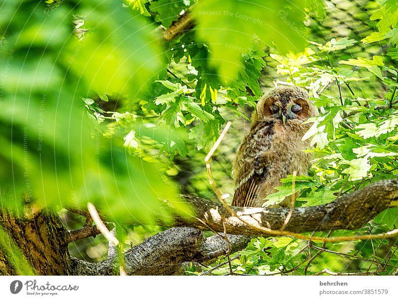 so müd Wald Eule Uhu Vogel Blätter Baum schlafen müde Natur ausruhen Federn Ast Zweige u. Äste Stamm Baumstamm Tier Wildnis Kauz Wildtier Tierporträt
