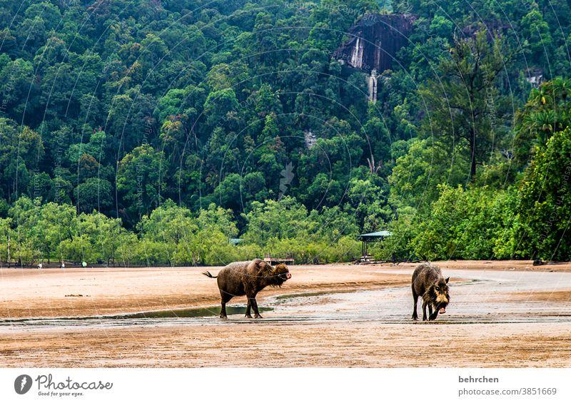 schweinerei Küste Sarawak Regenwald Strand Landschaft traumhaft Wasser Meer Ozean wunderschön Umweltschutz Asien Ferien & Urlaub & Reisen Ferne fantastisch