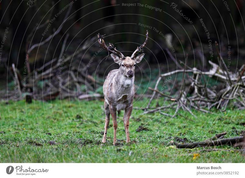Damhirsch, Dama dama, fallow deer Hirsch Rotwild Säugetiere Natur Tier Außenaufnahme Wald Jagd Hirsche Tierwelt männchen geweih Wiese grün