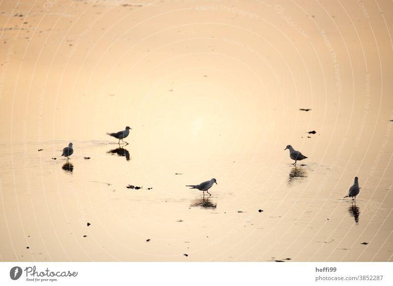Möwen in der frühen Morgensonne Meeresvogel Möwenvögel Fischland Nordseeküste Sonnenuntergang Sonnenaufgang Ornithologie Feder Beine Ostsee Wildtier See