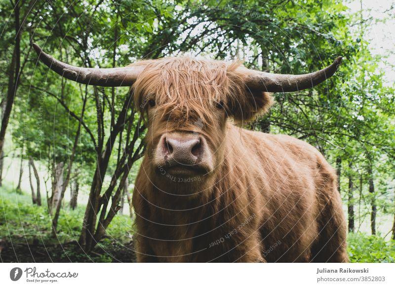 Hochlandrind Stier Schottisches Hochlandrind Tier Außenaufnahme Nutztier Kuh 1 braun Farbfoto Horn Rind Fell Tag Tierporträt Weide Menschenleer Natur Blick