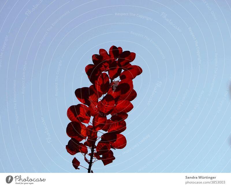 Rote Herbstblätter vor klarem blauen Himmel herbst Herbstfarben Herbstlaub Natur natürlich baum Detailaufnahme Blatt Blätter Jahreszeit Farben Farbfoto Wandel