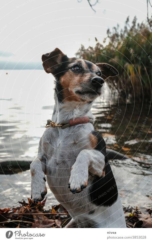 Jack Russel Terrier Jack-Russell-Terrier Hund Tier Haustier niedlich 1 braun klein Lifestyle Porträt Reinrassig gehorsam weiß Besitzer Außenaufnahme reizvoll