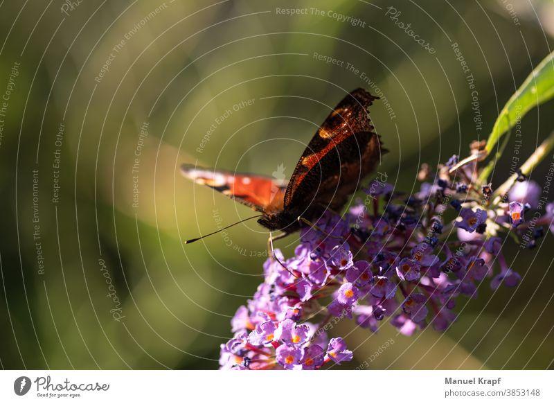 Schmetterling Schmetterlinge Natur Pflanze Pflanzen Tier Insekt grün purpur Frühling Sommer Tagpfauenauge Makro Makroaufnahme Makro-Fotografie