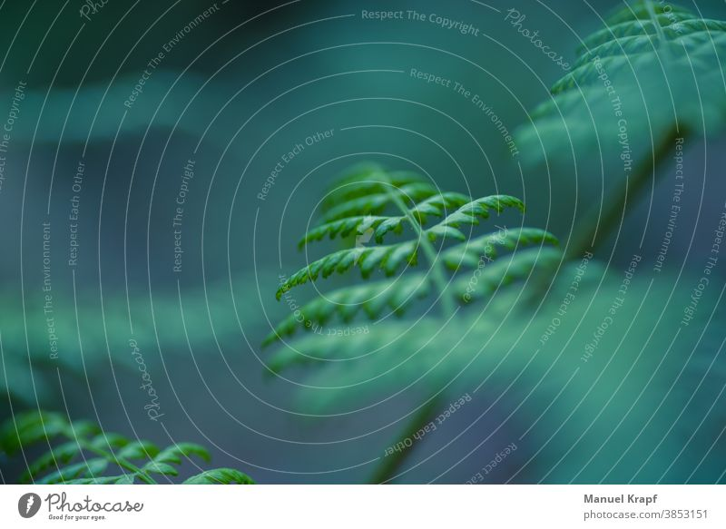 Farn fern Natur nature grün green Pflanze plant Makro Makroaufnahme Bokeh