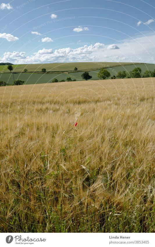 Die goldenen und farbenprächtigen Felder im Sommer Landwirtschaft Getreide Ernte Ähren Korn Kornfeld Getreidefeld Nutzpflanze Ackerbau Ernährung Pflanze
