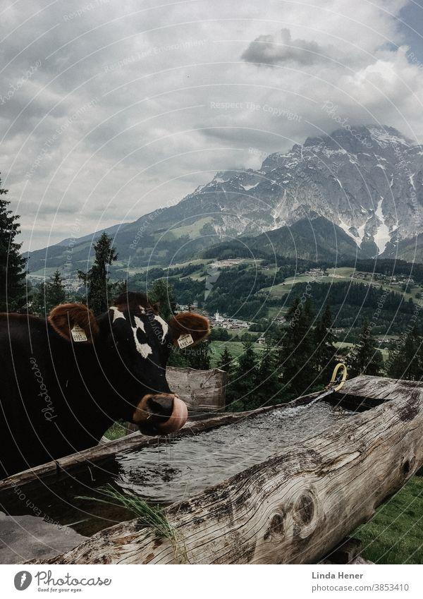 Kuh vor Gebirgspanorama, die mit Zunge das Wasser schöpft Wassertrog Alpen Gebirge Berge Gebirgskette grün Hügel Wiesen Landschaft Tier Aussicht Panorama