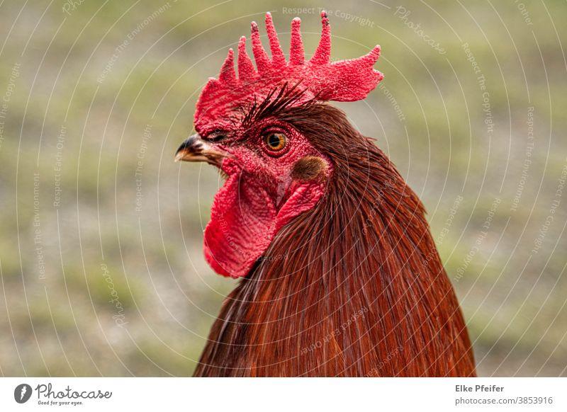 Hahn Hahnenkamm Geflügel Hühner Portrait Tier Tierporträt Tierliebe Bauernhof