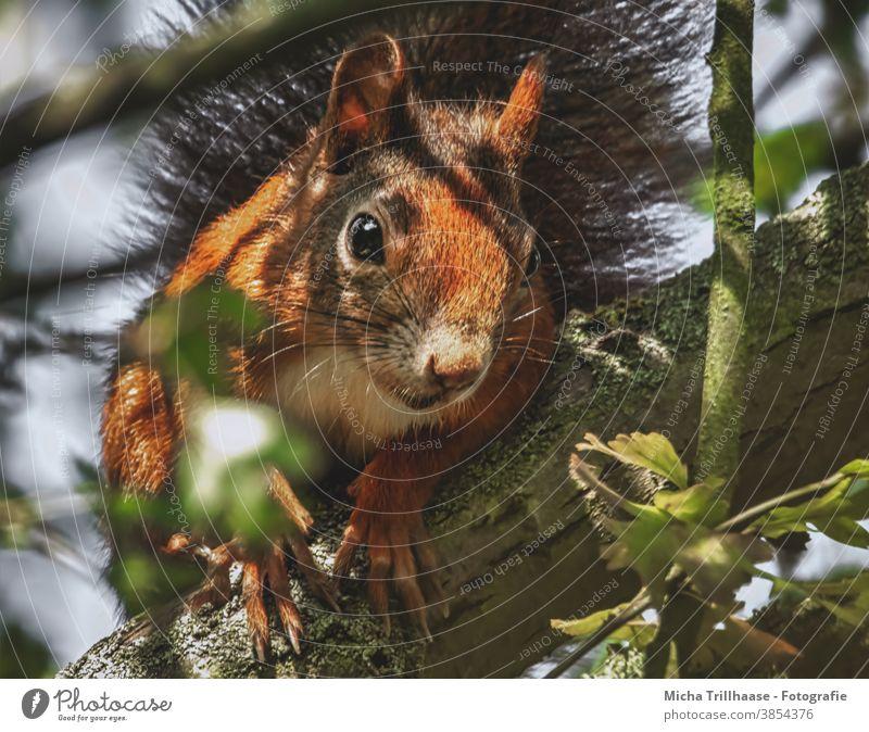 Neugierig schauendes Eichhörnchen im Baum Sciurus vulgaris Tiergesicht Kopf Auge Nase Ohr Maul Krallen Fell Nagetiere Wildtier Natur Blatt beobachten nah
