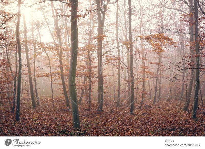 Herbstlicher Buchenwald im Nebel Wald Laubbaum Blatt Baum Natur Nebelstimmung Licht Baumstamm Holz Umwelt braun nebelig Laubwald Gedeckte Farben herbstlich