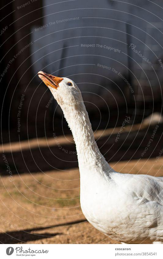 Hausgans auf einem Bauernhof Ackerbau Tier Tiermotive Hintergrund Schnabel schön Vogel Vögel Nahaufnahme Landschaft Detailaufnahme heimisch Haustier